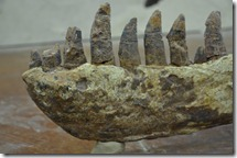 Photo of fossil jaw from a Tarbosaurus bataar