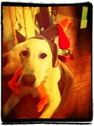 Pixlr-o-matic iPhone App finsished Lacey the Lab Image