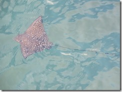 Spotted eagle ray swimming at USS Arizona