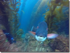 Large California Sheephead fish wanting to play or photobomb me.